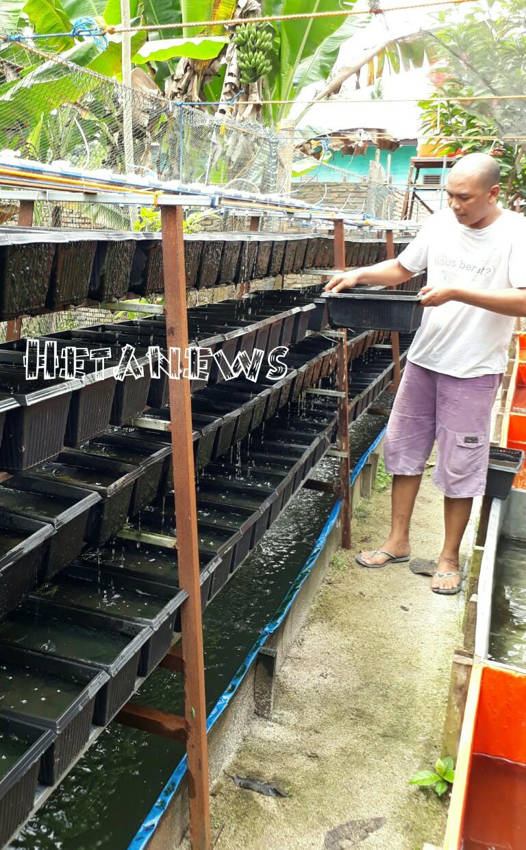 Cacing Sutra Diternak Jadi Tambahan Pakan Ikan Lele